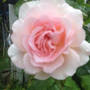 Smuk rose fra min have